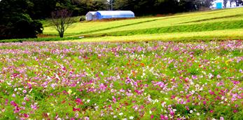 コスモスの開花風景